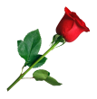 PNGPIX-COM-Rose-PNG-Transparent-Image